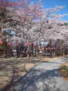 南相馬市の桜